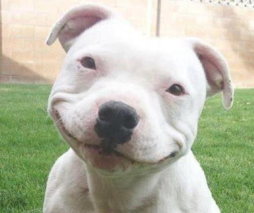 Posicionar Bull terrier en google
